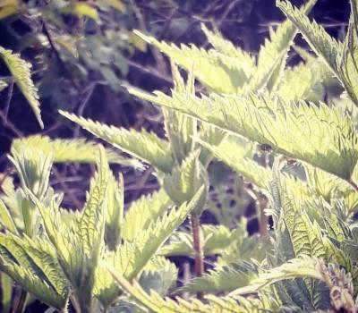 Naturopathy – Nettle