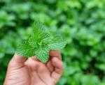 Manfaat Daun Mint untuk Kesehatan, dari Mengurangi Stres sampai Kesehatan Pencernaan