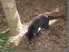 Australia Zoo Tasmanian Devil 031 (3)
