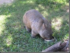 Australia Zoo wombat feeding 079 (2)