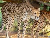 cheetah living desert