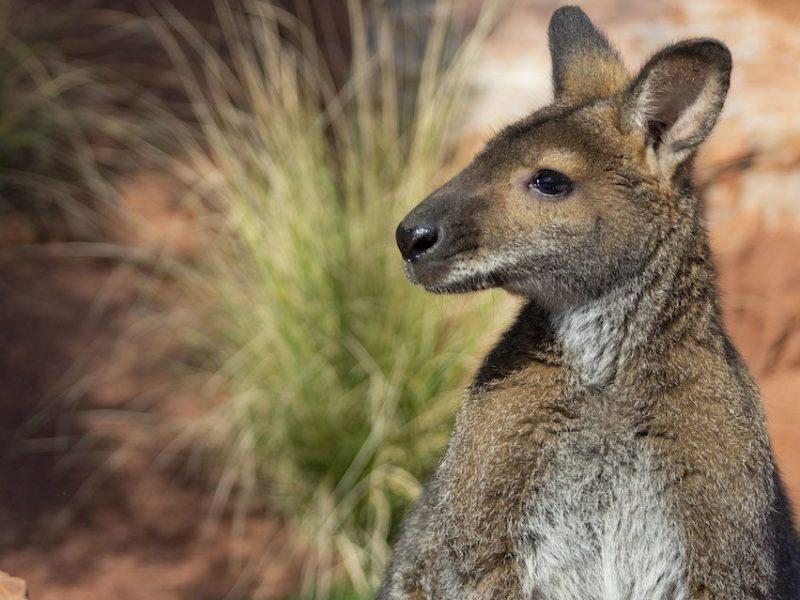 Wallaby Living Desert