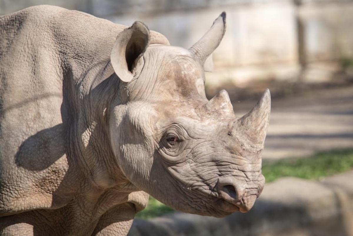 Living Desert Rhino Nia