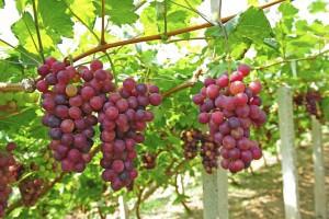 Grape-vine-and-branches-300x200