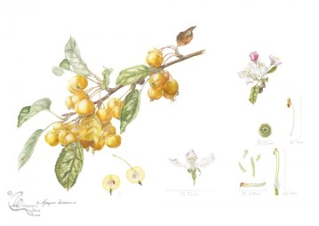 "Malus x zumi ""Golden Hornet"" crab apple in coloured pencil."