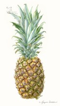 'The Cayenne smoothie' - Ananas comosus