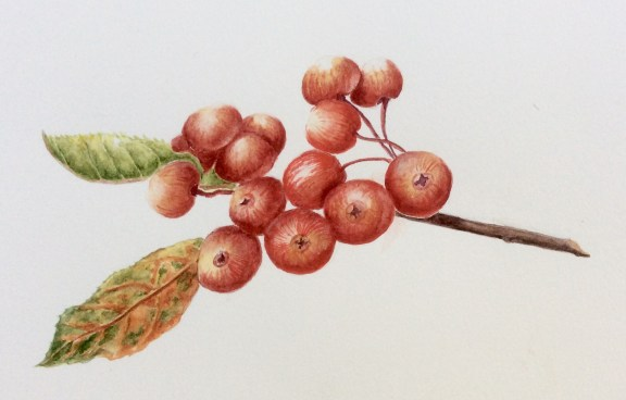 Crab apple Everest - watercolour