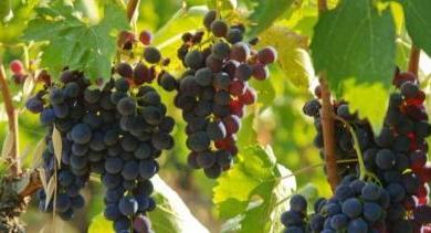 Photo of Ajutor de la stat pentru viticultori