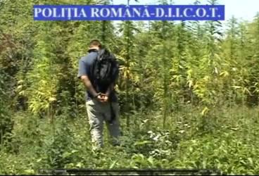 Prins de poliţişti în timp ce îşi îngrijea cultura de cannabis de pe câmp