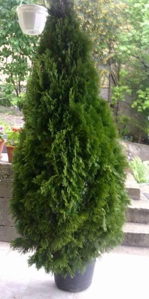 PLOIEŞTI/Au furat arborii din centrul oraşului