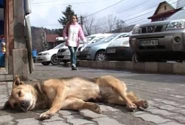 PLOIEŞTI. Continuă sterilizarea câinilor comunitari