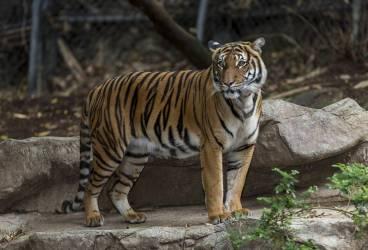 425.000 de lei pentru amenajarea unui adăpost pentru tigru, la Zoo Bucov