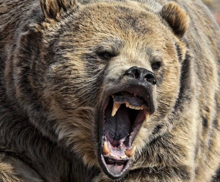 Măsuri pentru a proteja oamenii de un urs rănit de o maşină, refugiat într-o pădure din Buşteni