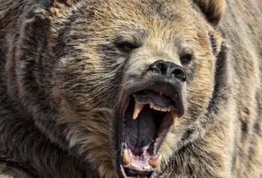 Bărbat din Măneciu muşcat de urs, salvat de jandarmi