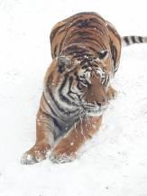 tigru zoo bucov 3