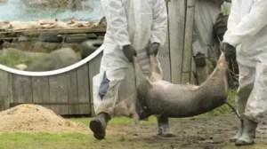Pesta porcină îi 'îngenunchează' pe crescătorii de animale