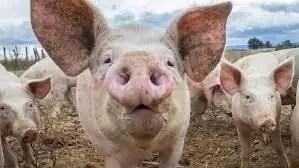 Pesta porcină africană grăbește Ignatul