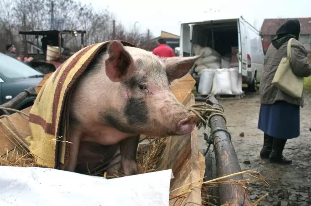 Vanzare porci