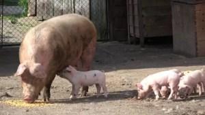 Guvernul dă 'asigurări': Creşterea porcilor în gospodării nu va fi interzisă, dar limitările impuse sunt stricte