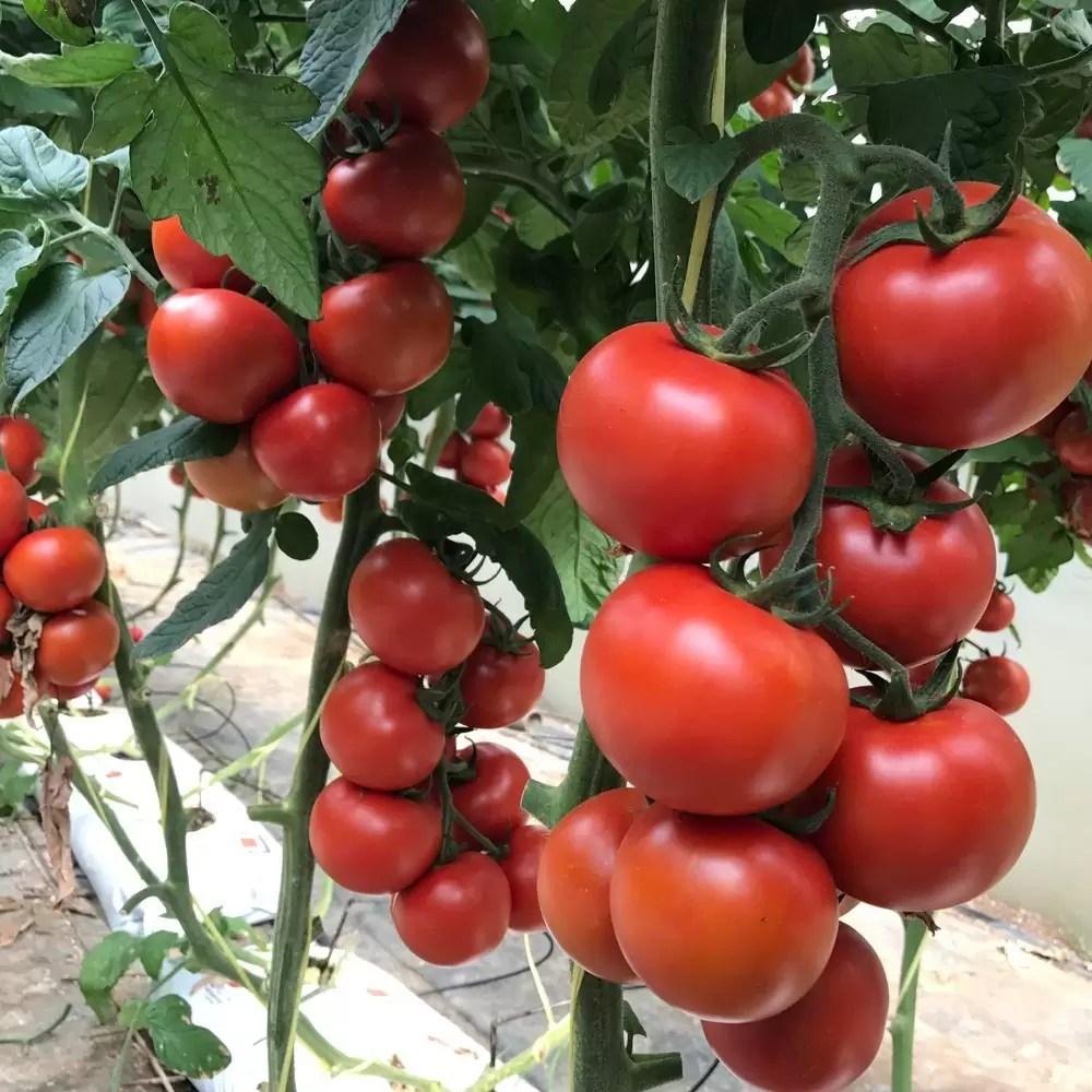 seminte-de-rosii-motril-f1