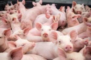 Oamenii nu mai au voie cu mai mult de 5 porci în gospodărie. Proiect de ordin