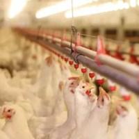 Comerţul ambulant cu păsări, suspendat o lună în toată țara, după apariția unui focar de gripă aviară