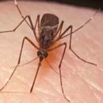 Simptomele infecției cu virusul West Nile, care apar la 1 din 5 cazuri