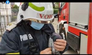 Porumbelul salvat de pompierii olteni