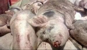 OLT: Un nou focar de pestă porcină africană, în Tufeni