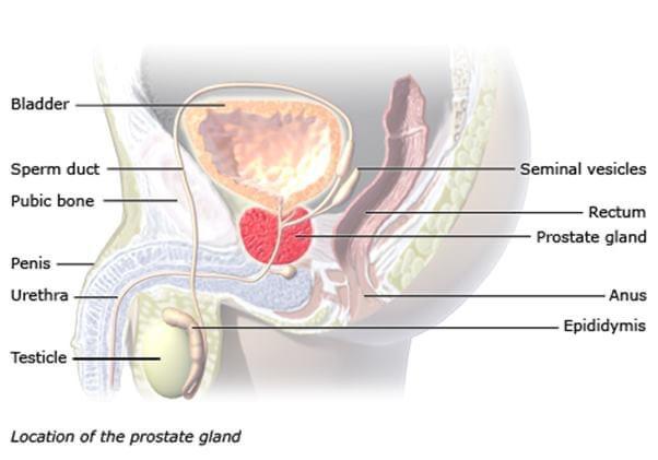 Prostata , Prostatë