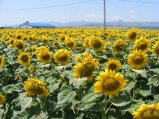 floarea-soarelui (4)
