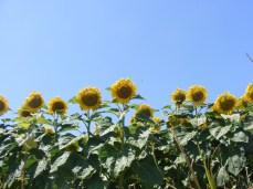 floarea-soarelui (5)