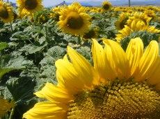 floarea-soarelui (8)