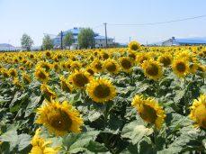 floarea-soarelui (9)