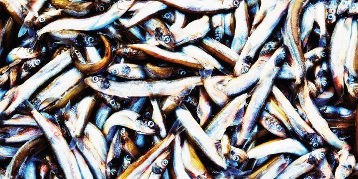 Extreme closeup of caplin fish