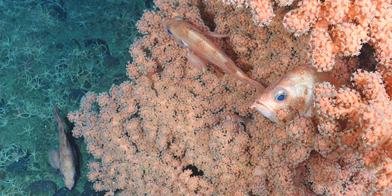A redfish in coral