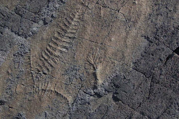 Mistaken Point fossils