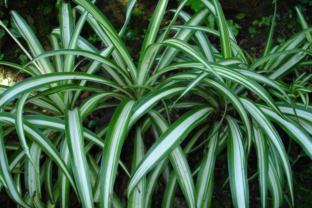 Cvetok-hlorofitum