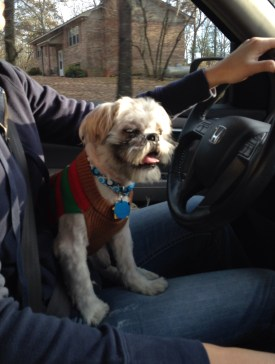 Abbott enjoying his new 'do and snazzy sweater on the way home.
