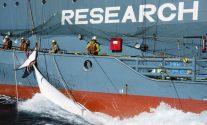 yushin maru whaling japanese cetacean research sea shepherd