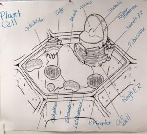 Plant cell diagram Labeled | gchsbiology