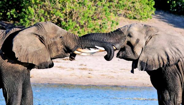 two elephants wrapping their trunks around each other