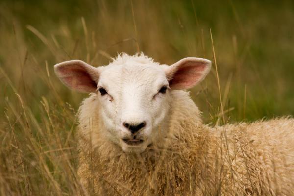 a sheep looking at the camera