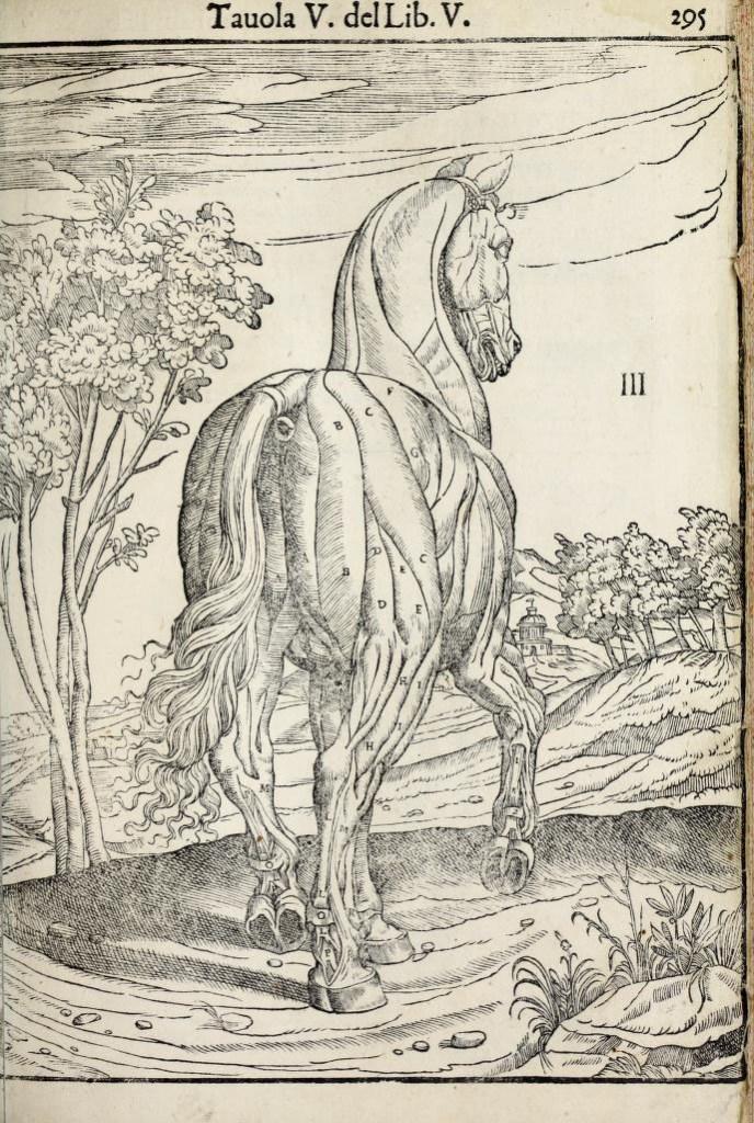 anatomia-caballo-carlo-ruini-page-295