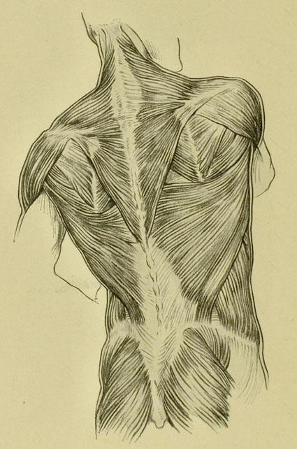 anatomia-humana-para-artistas-musculos-de-la-espalda-nalga-y-cuello