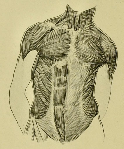 anatomia-humana-para-artistas-detalle-muscular-del-frente-del-torso-y-cuello