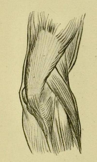 anatomia-humana-para-artistas-musculos-posteriores-del-codo