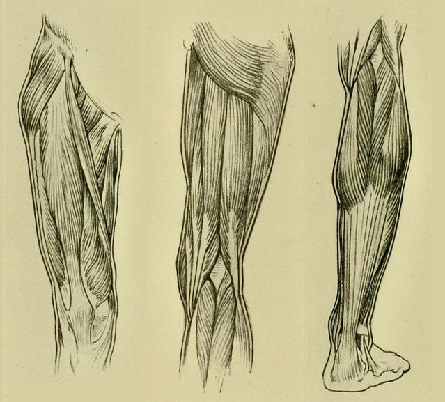 anatomia-humana-para-artistas-musculos-anteriores-y-posteriores-de-la-pierna