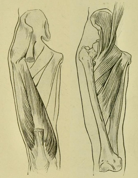 anatomia-humana-para-artistas-huesos-y-musculos-del-muslo