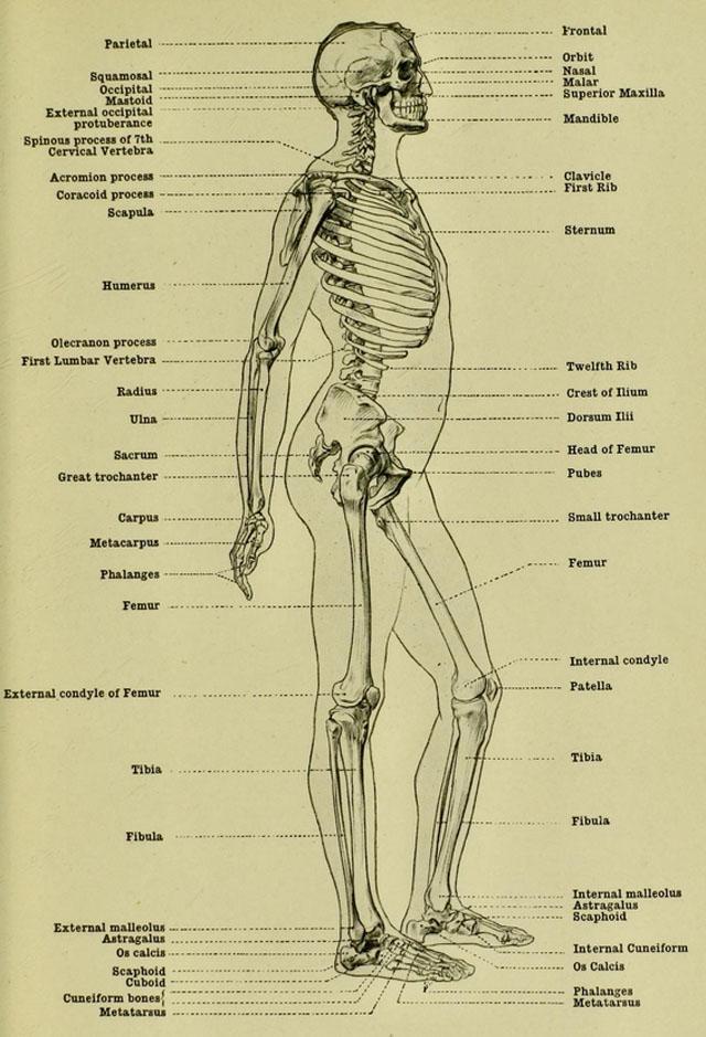 anatomia-humana-para-artistas-esqueleto-masculino-vista-lateral